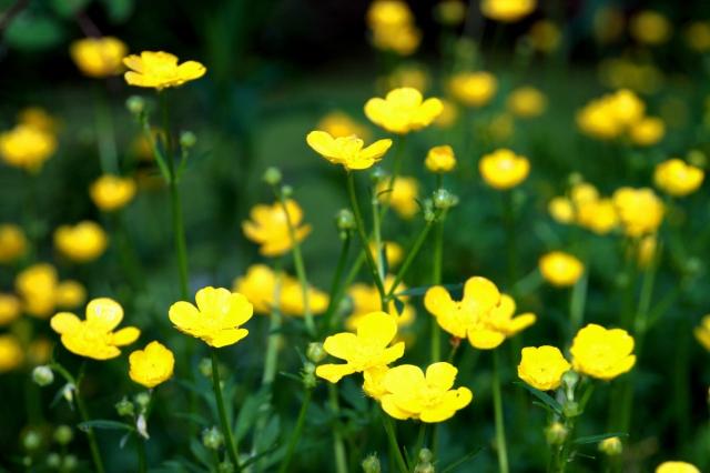 buttercup summers